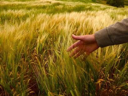 Gandum Tanaman Tangan Rumput Pertanian Tanah Ecovillaggi
