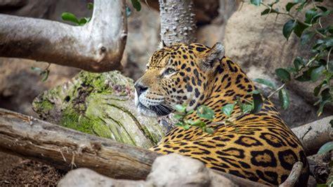 Jaguar HD Animals Wallpapers   HD Wallpapers   ID #50063