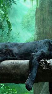 Windows Home Animals Puma Panthers Series Black Panther Rest Wallpaper