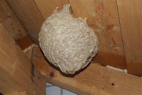 was tun gegen vögel unterm dach hornissennest unterm dach was tun einfach bienennest auf dem balkon was kann ich tun rat bienen