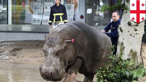 zoo animals escape  flood lions bears  hippos