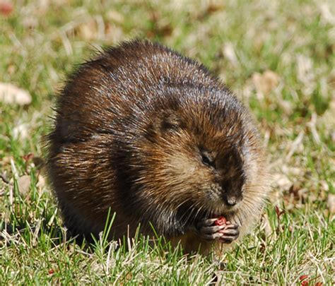 Images Of Muskrats Who S Whiter Badgers Or Muskrats