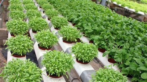 pupuk  tanaman hidroponik ngasihcom