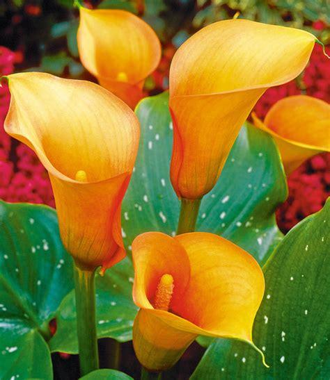 Calla Pflanze Kaufen by Calla Mango Blumenzwiebeln F 252 R Die Wohnung Bei Baldur