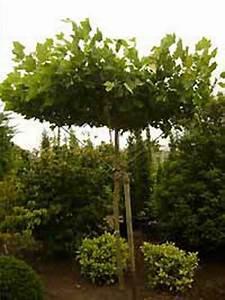 Kleiner Baum Mit Breiter Krone : platanus acerifolia 39 dachform sternform 39 platanus ~ Michelbontemps.com Haus und Dekorationen