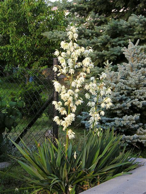 yucca palme winterhart file yucca filamentosa 1 jpg