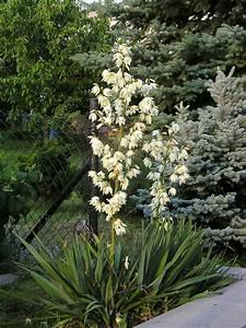 Yucca Palme Winterhart : yucca filamentosa come coltivarla cura e manutenzione giardinaggiomania ~ Frokenaadalensverden.com Haus und Dekorationen