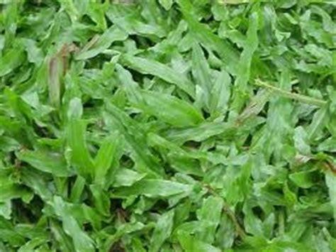 st bunga pendek pokok hiasan tanaman hiasan