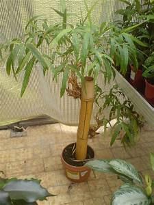 Bambus Pflegen Zimmer : bambus zimmerpflanze ~ Lizthompson.info Haus und Dekorationen