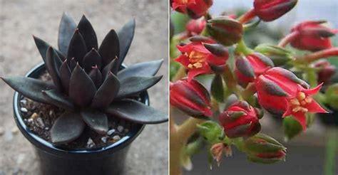 echeveria black knight world  succulents