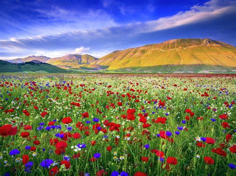 Meadow With Red Poppies, Chamomile Flower Background Hd ...