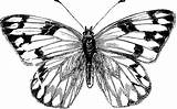 Butterfly Clipart Cabbage Moth Coloring Butterflies Clip Wings Female Etc Cliparts Stamps sketch template