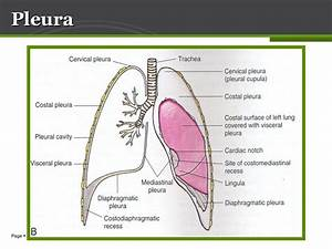 Anatomy Of Lung  U0026 Pleura