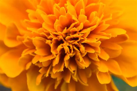 Marigold Flower Meaning  Flower Meaning