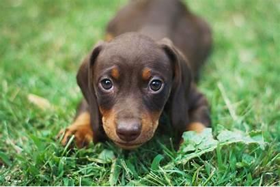 Sausage Dog Puppy Puppies Pet Adoption Sales