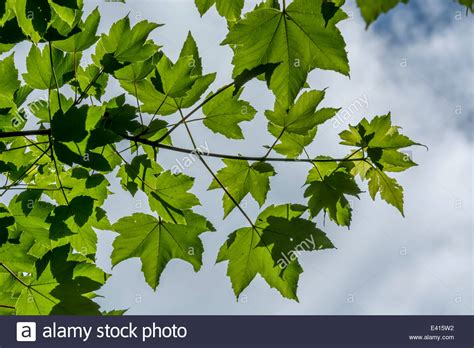 Sycamore Tree Leaves Close Up Stock Photos & Sycamore Tree