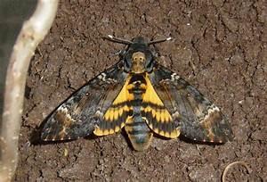 File:Acherontia atropos, emerged DH 060 06 12 27-02 cr.jpg ...