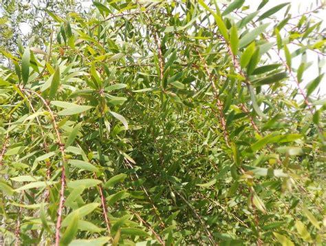 khasiat daun minyak kayu putih wedang angkringan jogja angkringan jogja pusat produsen wedang