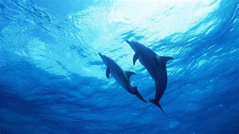 dolphin wallpaper hd wallpaper dolphin underwater desktop Underwater