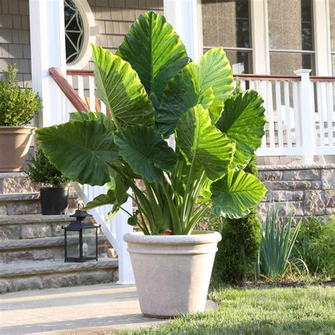 elephant ear plants in pots 92 best images about bulbs in containers on pinterest gardens summer bulbs and elephant ears