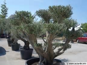 entretenir un olivier en pot oliviers en pot 28 images cultiver un olivier en pot