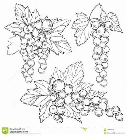 Currant Outline