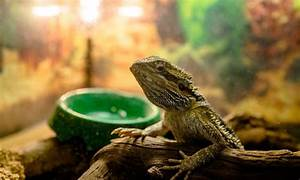 how often should you change a bearded dragons water
