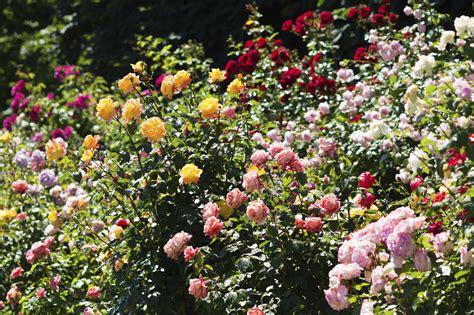top 10 bloemen top 10 mooiste rozen intratuin