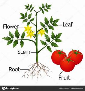 Labeled Diagram Of Tomato Plant