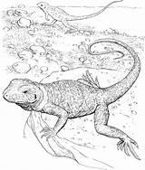 Lizard Coloring Drawing Animals Horned Getdrawings sketch template