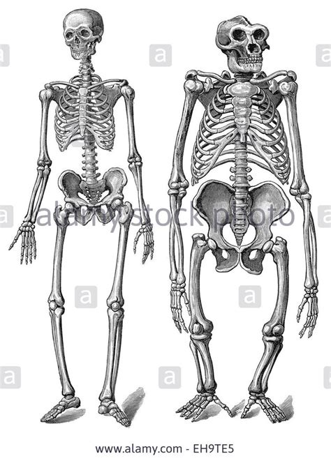 human skeleton  compared   gorilla skeleton