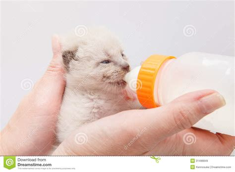 Kitten Royalty Free Stock Images Image 31496849