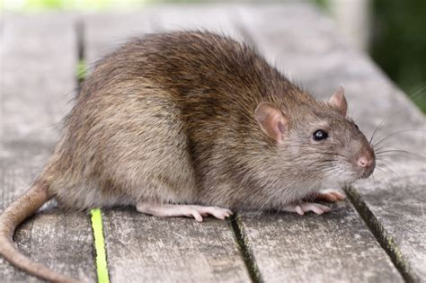 Jonge rat