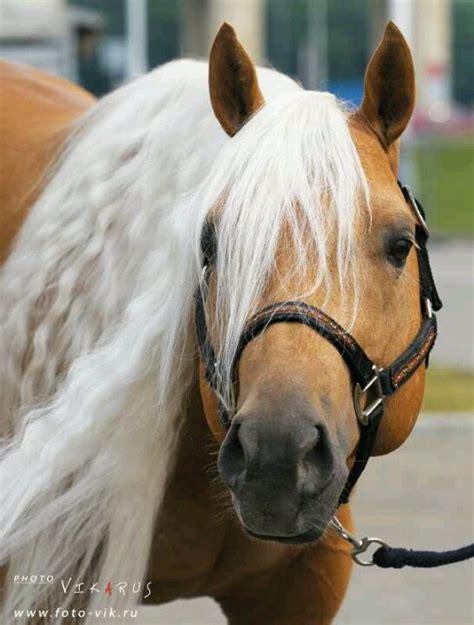 horses palomino horse quarter paint pretty western appaloosa stallion palamino tack ranch wild gorgeous racing saddle cutting barrel cowboy reining