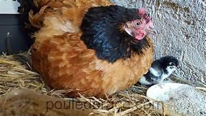 Couveuse Oeuf De Poule : mes poules couveuses ~ Premium-room.com Idées de Décoration
