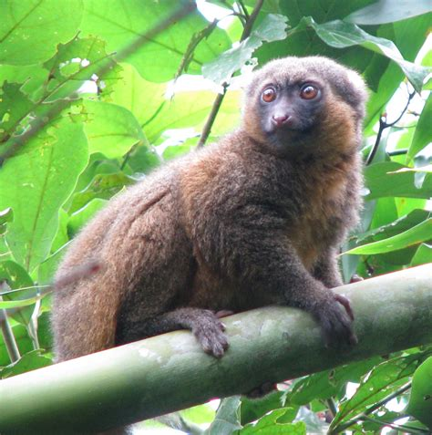 Planet Lemur: 10 Beautiful Little Known Species The Ark