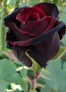 Images Rose - QiGe87.com