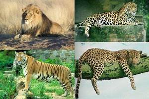 cheetah vs leopard vs jaguar vs tiger vs lion e | Fashion ...