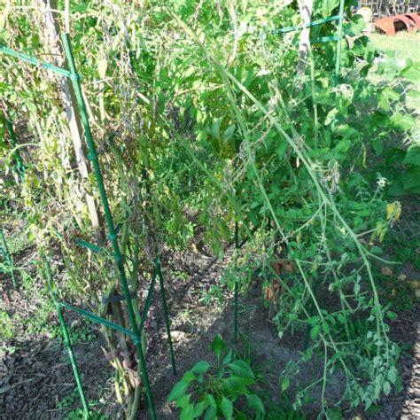 squirrel damage   vegetable garden