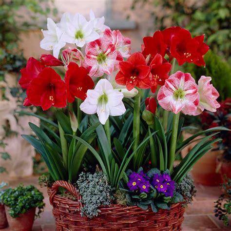 100 bulk amaryllis bulbs wholesale amaryllis bulbs buy