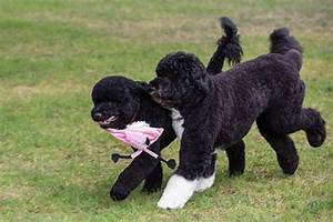 Bo Obama gets a playmate! Obamas adopt another dog - NY ...
