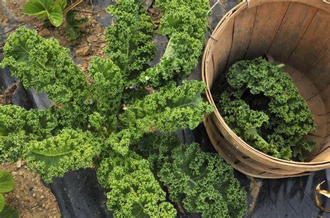 Garten Norden Pflanzen by Gr 252 Nkohl Ernten Beliebtes Wintergem 252 Se Im Norden