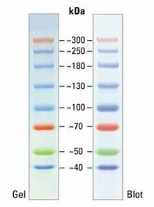 Spectra Multicolor High Range Protein Ladder