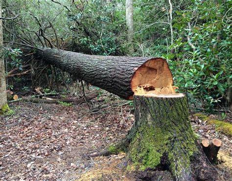 comment abattre  arbre genant ou dangereux dans son