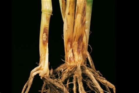 http://www.cropscience.bayer.no/Bayer-Agro-Services/Bayer-Agro-verktoy/Sykdommer/Straknekker.aspx