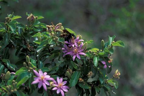 grow  lavender star flower tree   home garden