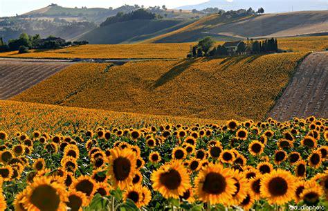 azienda agricola la fiorita sfondi fiore giallo cielo pianta fiorita paesaggio