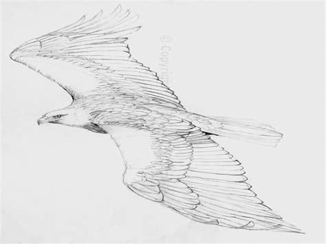 golden  bald eagle flying golden eagle flying drawings