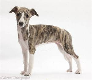 Whippet Puppy Dog Breed. The original Whippets were ...