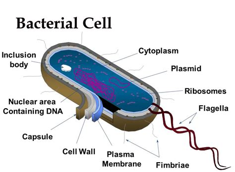 Anthrax Bacterium Diagram by Pin Bacteria Diagram With On